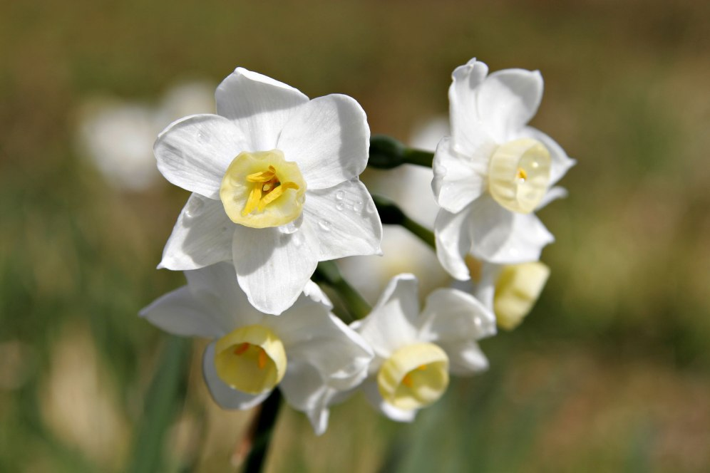 jonquil_flowers06